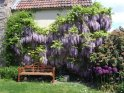 Wisteria End May
